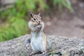 Surprised chipmunk stands on his hind legs and looking in front of it Stock Photo