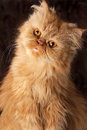 Surprised Persian cat Royalty Free Stock Photography