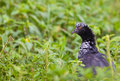 The surprising Horned Screamer Royalty Free Stock Photography
