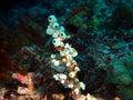 Surprising underwater world philippine sea island mindoro sea squirt Stock Photos