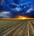Surreal sunset over growing soybean plants at ranch field Stock Photography