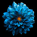 Surreal wet dark chrome sea blue flower dahlia macro isolated Royalty Free Stock Photo