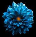 Surreal wet dark chrome sea blue flower dahlia macro isolated Royalty Free Stock Photo