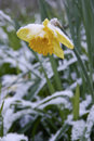 Survival of the fittest a snow covered daffodil struggles to survive changing seasons Royalty Free Stock Photo