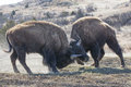 Survival of the fittest two big bull buffalos sparring over mating privileges Stock Photos