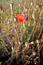Survivor red poppy flower in the death poppy flowers field Royalty Free Stock Images