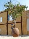 The suspended orange tree. Yaffo, Israel