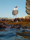 Suspicious seagull on a rock young black headed standing shot from water level Stock Photo