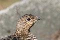 Svalbard Rock ptarmigan, female with summer plumage, Svalbard, close up Royalty Free Stock Photo