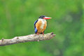 Svart-capped Kingfisher Arkivfoto