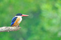 Svart-capped Kingfisher Arkivbild