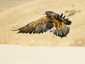 Swainson hawk flying Stock Photos