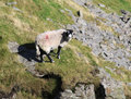 Swaledale sheep on mountainside ledge. Royalty Free Stock Images