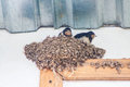 Swallow and baby birds in nest Royalty Free Stock Photo