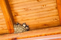 Swallow baby birds in nest under a wooden shelter Royalty Free Stock Image