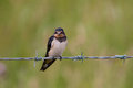 Swallow a on a barbed wire Royalty Free Stock Images