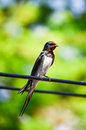 Swallow bird sitting on wire a photograph of a little an electric cable Royalty Free Stock Photography