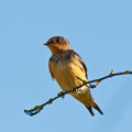 Swallow on a branch with watchful eye perched tree Stock Photography