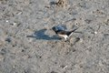 Swallow collecting mud to build its nest Stock Images