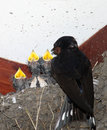 Swallow, hirundo rustica, feeding young in nest Royalty Free Stock Photos