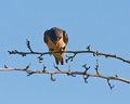 Swallow with a stare perched on branch head down and giving Royalty Free Stock Photos