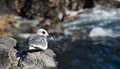 Swallow-tailed Gull Royalty Free Stock Photos