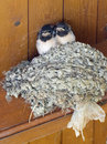 Swallows two baby sit on a nest Stock Images