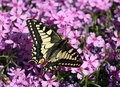 Swallowtail Stock Photography