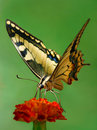 Swallowtail Stock Photo