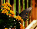 Swallowtail butterfly a alights on home garden flowers for a rest in the summer heat Royalty Free Stock Photography