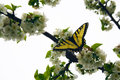 Swallowtail Butterfly on Cherry Tree Blossoms Royalty Free Stock Photo