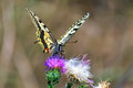 Swallowtail butterfly collecting nectar from flower thistle Royalty Free Stock Photos