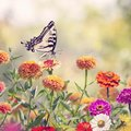 Swallowtail butterfly on colorful zinnia flowers Royalty Free Stock Photo