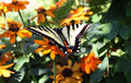 Swallowtail Butterfly on Garden Flowers Royalty Free Stock Photo
