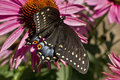 Swallowtail butterfly high angle on Echinacea flower Royalty Free Stock Photo