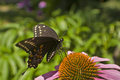 Swallowtail butterfly lands on Echinacea flower Royalty Free Stock Photo