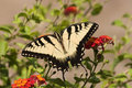 Swallowtail Butterfly on Orange Lantana Royalty Free Stock Images