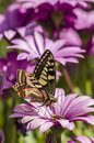 Swallowtail butterfly in a purple daisy field sucking nectar from flowers Royalty Free Stock Photography