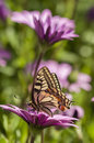 Swallowtail butterfly in a purple daisy field sucking nectar from flowers Stock Images