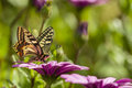 Swallowtail butterfly in a purple daisy field sucking nectar from flowers Stock Photos