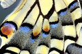 Swallowtail Butterfly wing, Up close Royalty Free Stock Photo