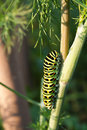 Swallowtail caterpillar Stock Photography
