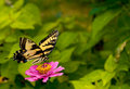 Swallowtail (Papilio Machaon) Lizenzfreies Stockbild