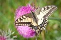 Swallowtail on thistle flower shallow depth of field Stock Photos