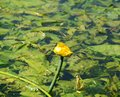 Swamp with blossom water lily Royalty Free Stock Photo