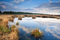 Swamp with cotton grass and blue sky Royalty Free Stock Image