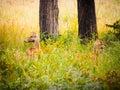 Swamp deer or barasingha rucervus duvaucelii in bardia national park nepal Royalty Free Stock Photography