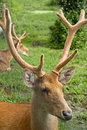 Swamp deer closeup of the Royalty Free Stock Photos
