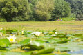 Swamp lake with water lilies and fishing boat Royalty Free Stock Photo