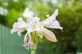 Swamp Lily flower Royalty Free Stock Photo